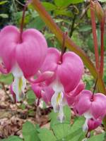 three red bleeding hearts macro