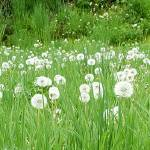 """dandelion 10b White Spring Meadow Landscape"" by Ricardos"