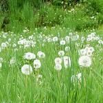 """dandelion 10b White Spring Meadow Landscape"" by Ricardos"