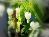 elegant white bleeding hearts