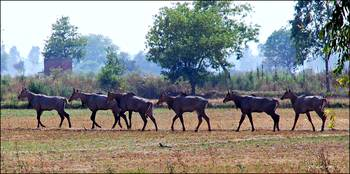 Marching Antelopes