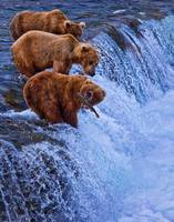 Katmai Bears Alaska - Lucky One 6167