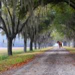 """Horse - Avenue of Oaks"" by Hansen"