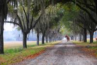 Horse - Avenue of Oaks