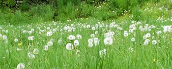 Dandelion  Meadow 10b