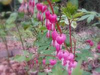 red bleeding hearts #6