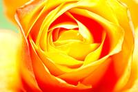 Passionate Yellow Rose