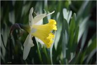 A lovely daffodil