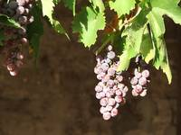 Muscatel grapes