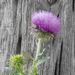 """Thistle and Alligator Juniper"" by MichaelStephenWills"