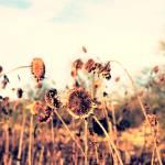 """Sun Flowers Vintage"" by fotosnostock"