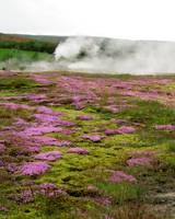 Pink flowers in geysir land