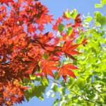 """""""Maple Leaves (3)"""" by joannetopping"""