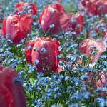 """Tulip Series: Pink Tulip garden"" by halehmahbod"