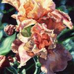 """Peach Iris"" by chloehedden"