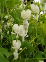 white bleeding hearts #4