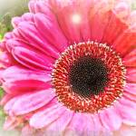 """Pink Gerbera Daisy"" by johncorney"