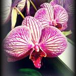 """orchid reflect I"" by vickicook"