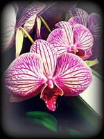orchid reflect I