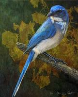 deep woods / scrubjay