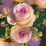 """""""Pink Rose Reflected 2010"""" by petersart"""
