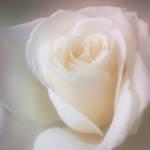 """Soft Focus Rose"" by AnneVis"