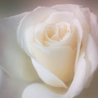 Soft Focus Rose