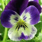 """Purple Bicolor Viola Hybrid 2, Colorado"" by sethgoldstein72"