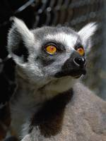 Lemur Eyes