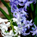"""""""purple and white"""" by BuddhabellyDave"""