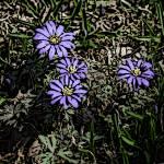 """Purple Splendor"" by BuddhabellyDave"