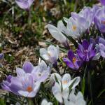 """Striped Crocus Medley"" by BuddhabellyDave"