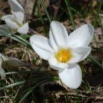 """White Crocus"" by BuddhabellyDave"