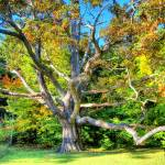 """400 Year Old White Oak"" by healeyphotography"