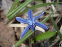Expanded Blue Snowdrop