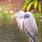 """Blue Heron"" by a2yphotos"
