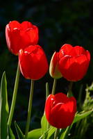 Luminous Red Tulips