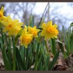 """""""Daffodils"""" by xhandi"""