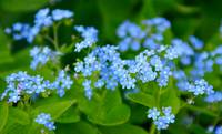 Itty Bitty Blue Flowers