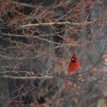 """Tree with Cardinal"" by naturephotos"