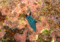 Nudibranch in the Galapagos
