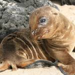 """Baby Sea Lion, Galapagos"" by erick"