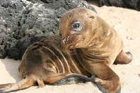 Baby Sea Lion, Galapagos