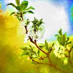 """Flowering plum tree"" by AngelaStanton"