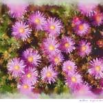 """Ice plant in Pastels"" by AngelaStanton"