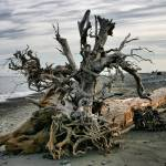 """washed up tree"" by PhotosbyTerrell"