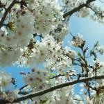 """""""Sakura 2"""" by sneddig"""