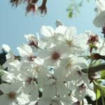 """""""Sakura 3"""" by sneddig"""
