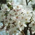 """""""Sakura 5"""" by sneddig"""