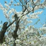 """""""Sakura 6"""" by sneddig"""